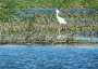 LITTLE aigrette or heron lake Beleu Manta2